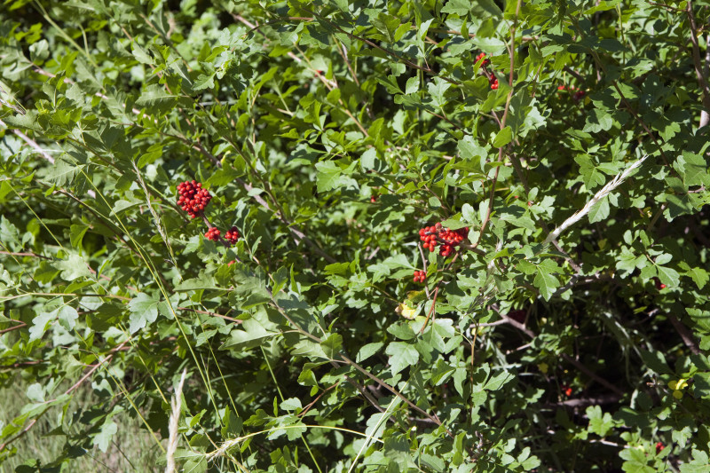 skunkbush-sumac-berries_medium