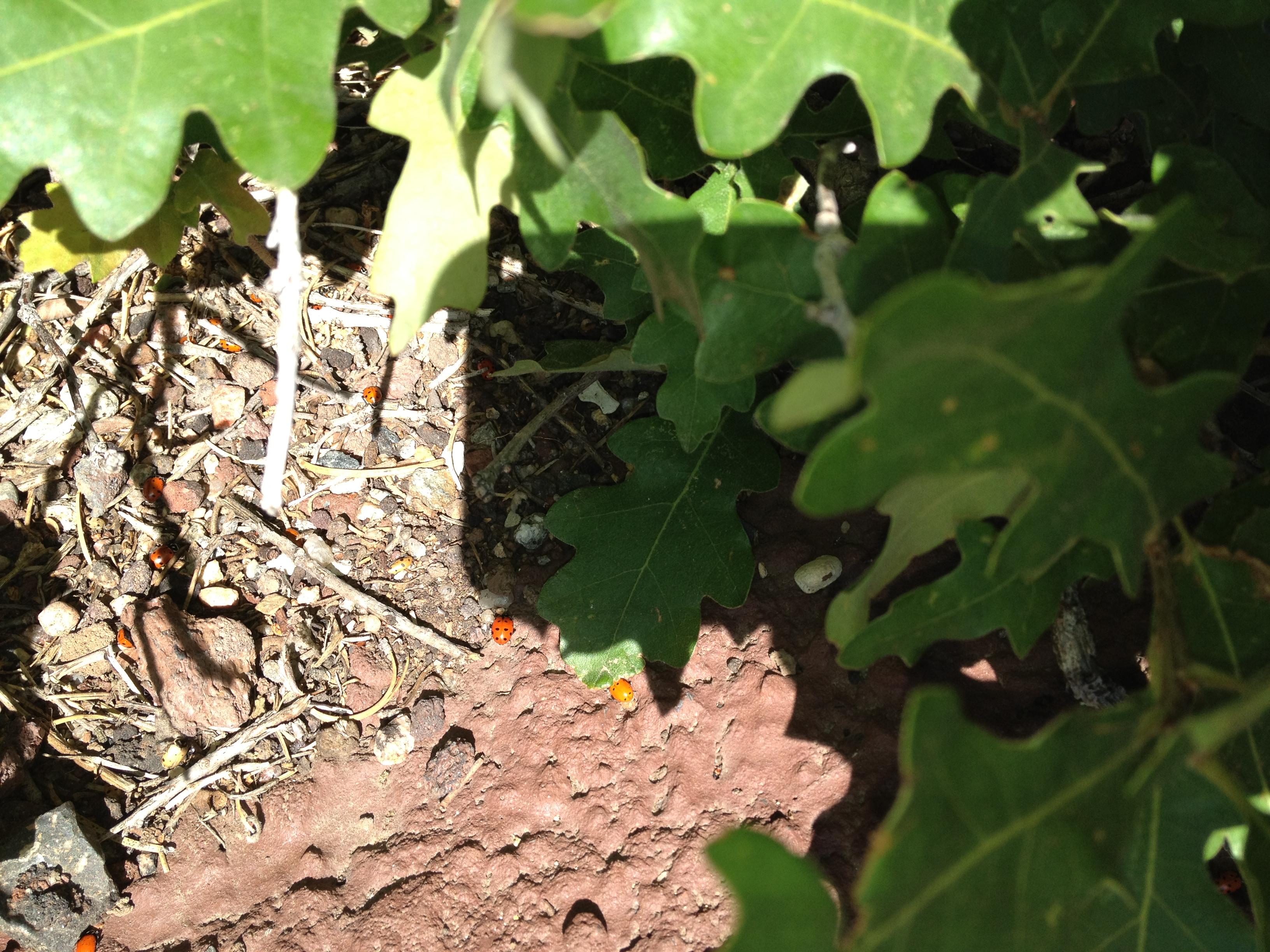 up close ladybugs