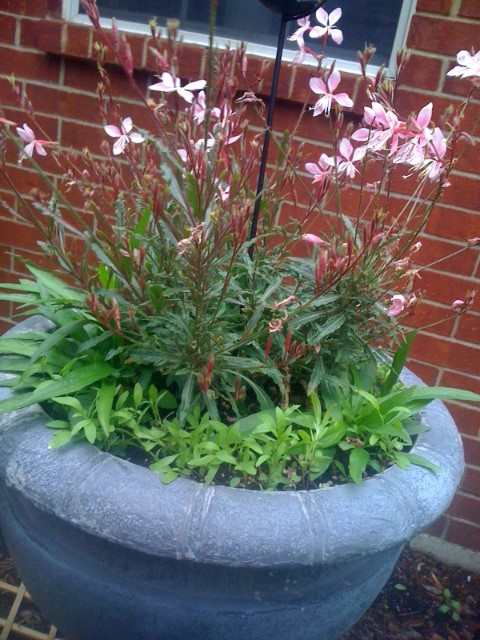 Sweet Alyssum Sprouts Surrounding Pink Guara and Mexican Petunia