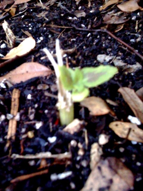 Blurry photo of resprouting coleus plant after being eaten to the ground by rabbits.