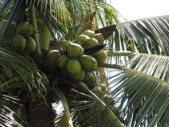 Immature Coconuts w/Fleshy Green Exterior