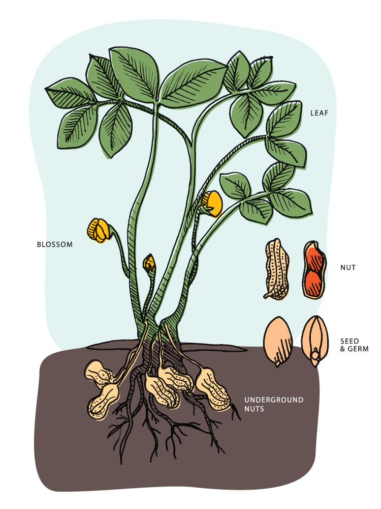Peanuts are Legumes